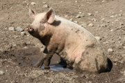 Nothing beats a good mud bath. Here one of Doug Zorn's pigs wallows in some fresh mud. He also runs his pigs in fields of white clover. Pigs love hay and grass. Photo Erin Perkins.