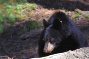 A resident of Ridgewood Road north of Nelson had to stare down a black bear inside the home late Tuesday night. — Stock photos